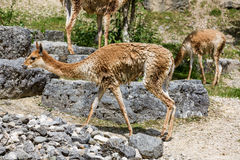 Punto di vista di Lama Vicugna in un giardino dello zoo Fotografia Stock