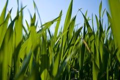 Punto di vista di livello del suolo di erba Fotografia Stock