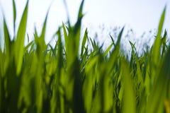 Punto di vista di livello del suolo di erba Immagine Stock Libera da Diritti