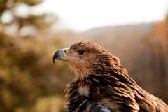 Punto di vista di profilo dell'aquila della montagna Immagine Stock
