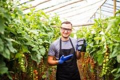 Punto di vista di un agricoltore attraente in una serra con il usin dei pomodori Fotografie Stock