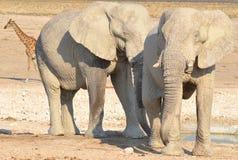 Punto di vista di un elefante coperto in fango bianco Fotografia Stock Libera da Diritti