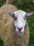 Punto di vista di una testa e di un corpo del ` s delle pecore Immagini Stock Libere da Diritti