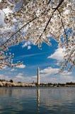 Punto di vista di Washington Monument con le ciliege del fiore Immagine Stock