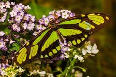 Farfalla di bambù scarsa della pagina immagini stock