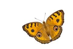 Punto di vista dorsale della farfalla isolata della pansé del pavone Fotografia Stock Libera da Diritti