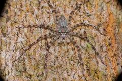 Punto di vista estremo e vicino di Lichen Huntsman Spider Pandercetes gracilis Fotografia Stock