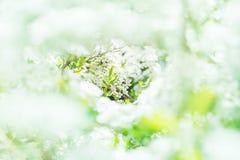 Punto di vista favoloso di bello spiraea di fioritura nel giardino domestico w fotografie stock libere da diritti