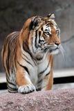 Punto di vista frontale di una tigre siberiana (altaica del Tigri della panthera) Fotografia Stock