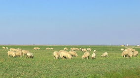 Punto di vista grandangolare delle pecore che pascono stock footage