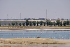 Punto di vista di grandi fenicotteri ad Al Wathba Wetland Reserve L'Abu Dhabi, UAE fotografia stock