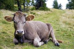 Punto di vista idilliaco della mucca marrone divertente piacevole che risiede nel fie verde del pascolo Immagini Stock Libere da Diritti