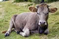 Punto di vista idilliaco della mucca marrone divertente piacevole che risiede nel fie verde del pascolo Fotografia Stock Libera da Diritti