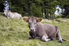 Punto di vista idilliaco della mucca marrone divertente piacevole che risiede nel fie verde del pascolo Immagini Stock