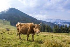 Punto di vista idilliaco della mucca marrone piacevole che pasce nel campo verde franco del pascolo Immagine Stock Libera da Diritti