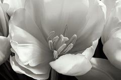 Punto di vista interno splendido del tulipano Fotografia Stock Libera da Diritti
