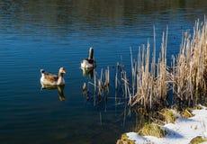 Punto di vista di inverno di una coppia le maggiori oche fronteggiate bianche immagine stock libera da diritti