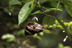 Punto di vista laterale del primo piano della farfalla marrone arancio nera che si siede sottosopra sul piccolo fiore bianco che  Fotografia Stock Libera da Diritti