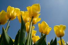 punto di vista olandese dei tulipani della formica Immagini Stock