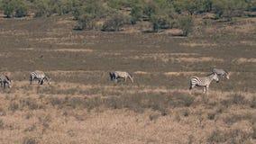 Punto di vista di panorama delle zebre africane selvagge che pascono in un prato nel periodo di siccità video d archivio