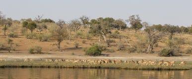 Punto di vista panoramico delle gazzelle di Grant sul fiume di Choebe Fotografia Stock