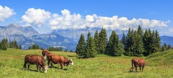 Punto di vista panoramico delle mucche marroni Fotografie Stock