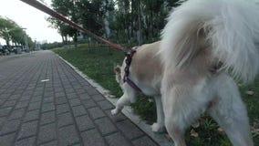 Punto di vista posteriore del cane allegro sulla passeggiata Ragazza che cammina il suo cane sul guinzaglio video d archivio