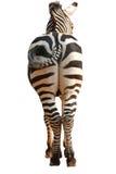 Punto di vista posteriore della zebra isolato Immagini Stock