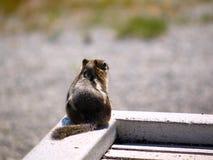 Punto di vista posteriore dello scoiattolo sveglio fotografie stock