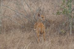 Punto di vista posteriore di un nyala, angasii del Tragelaphus, Angola fotografie stock