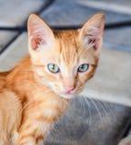 Punto di vista purulento del gatto Fotografia Stock Libera da Diritti