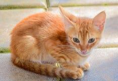 Punto di vista purulento del gatto Immagine Stock