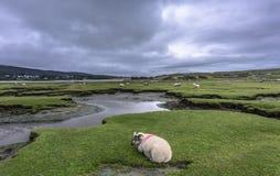 Punto di vista scenico delle pecore sul prato verde, isola di Achill, contea Mayo, Irlanda fotografia stock