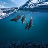Punto di vista subacqueo dei delfini che nuotano sopra le acque contaminate illustrazione di stock