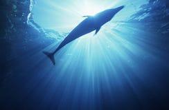 Punto di vista subacqueo del delfino di Bottlenose (tursiops truncatus) immagine stock