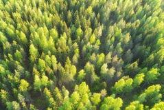 Punto di vista superiore aereo degli abeti verdi di bella estate in foresta fotografia stock libera da diritti