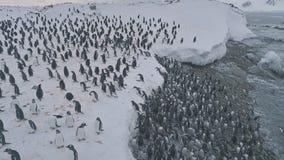 Punto di vista superiore aereo della colonia del pinguino di Gentoo andando a terra video d archivio