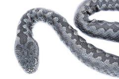 Punto di vista superiore del bambino del serpente della vipera, latastei del Vipera Immagine Stock