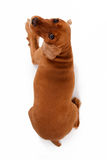 Punto di vista superiore del cane di cocker spaniel di inglese Fotografia Stock Libera da Diritti