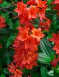 Punto di vista superiore del peruviano rosso Lily Flowers Alstroemeria fotografia stock libera da diritti