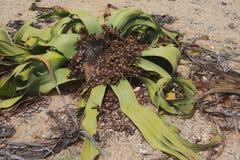 Punto di vista superiore del primo piano del mirabilis di Welwitschia nel deserto di Namib, Namibe immagini stock