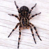 Punto di vista superiore del ragno della tarantola Fotografia Stock Libera da Diritti