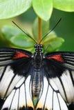 Punto di vista superiore della farfalla Fotografie Stock