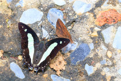 Punto di vista superiore della farfalla comune del nawab Fotografia Stock Libera da Diritti
