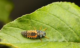 Punto di vista superiore della larva di Ladybird fotografia stock