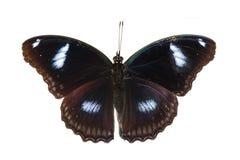 Punto di vista superiore di grande della farfalla maschio eggfly Immagine Stock