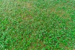 Punto di vista superiore di molte margherite bianche su erba verde Fotografie Stock Libere da Diritti