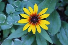 Punto di vista superiore di Susan Daisy Flower dagli occhi castani Fotografie Stock