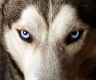 Punto di vista vicino degli occhi azzurri di un husky Immagine Stock