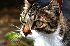 Punto di vista vicino del gatto vigile Immagine Stock
